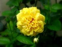 D's Rose