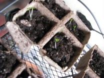 Impatiens Sprouts