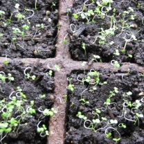 Watercress Sprouts