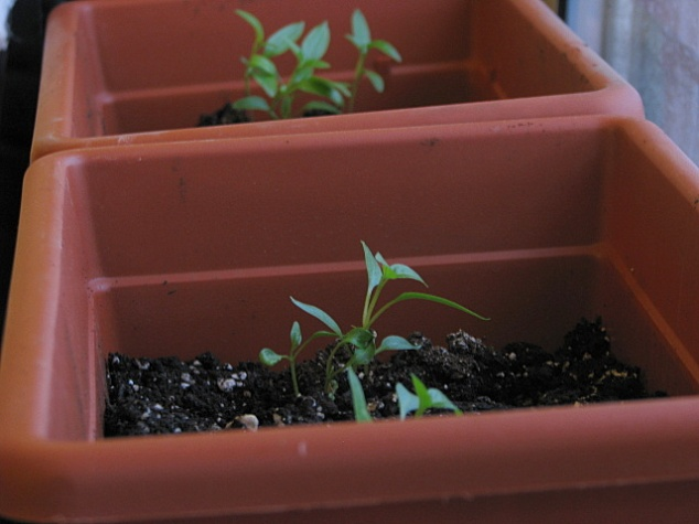 Transplanted Peppers