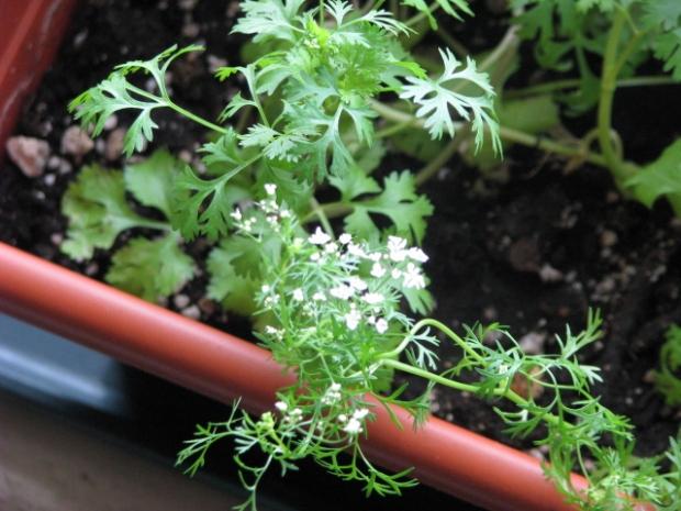 Flowering Cilantro